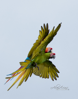 Great green macaw, Hybrid Macaw, Great green macaw photos,  Hybrid Macaw photos, macaws in Costa Rica, birds in Costa Rica, Costa Rica birding