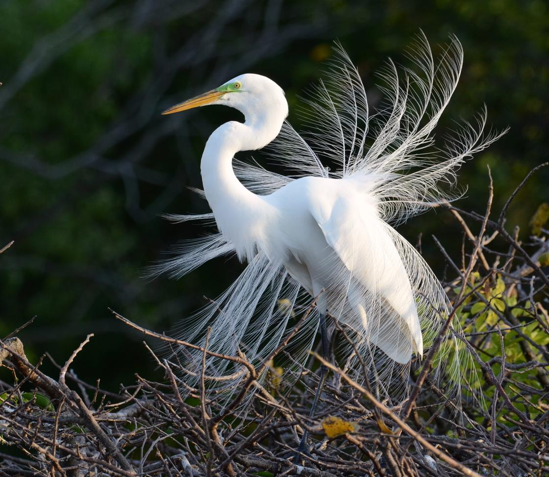 egret, egret photos, Great Egret, Gret Egret photos, florida birds, florida wildlife, united states wildlife, united states birding