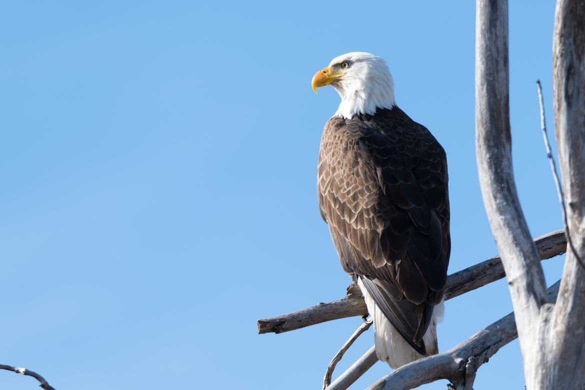 bald eagle, bald eagle photos, bald eagle images, united states wildlife, american wildlife photos, american birds, birds in the united states, bald eagles in america, America's national bird, birding in Oklahoma, Oklahoma wildlife