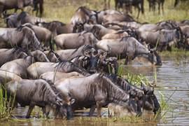 wildebeest, wildebeest photos, wildebeest migration, Kenya migration, Kenya wildlife, Africa migration, Maasai Mara, African safari, safari photos, African wildlife, Maasai Mara National Reserve, Mara River
