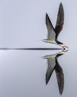 black skimmer, black skimmer photos, Florida birds, birding in Florida, St. Marks National Wildlife Reserve, Florida wildlife