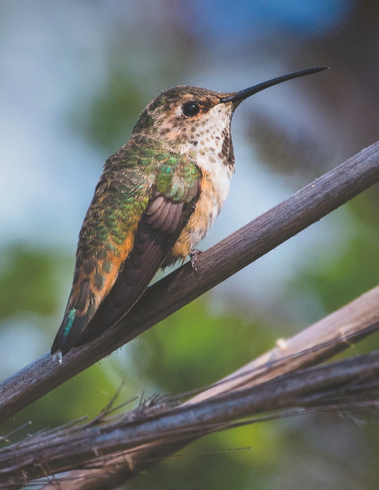 humming bird, humming bird images, humming bird photos, united states wildlife, united states birds, american hummingbirds, California birds, California wildlife, Allen's hummingbird