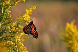 monarch butterfly, monarch butterfly photos, US wildlife, monarchs in the US, Old Crow Wetlands, monarch migration