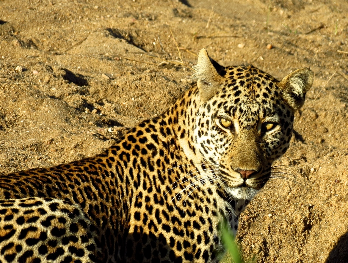 leopard, leopard photos, leopard images, south africa wildlife, south africa wildlife photos, south africa safari, south africa safari photos, african safari photos, african cats, leopards in africa, leopards in south africa, ngala camp, wildlife at ngala