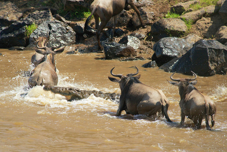 wildebeest, wildebeest photos, wildebeest migration, Kenya migration, Kenya wildlife, Africa migration, Maasai Mara, African safari, safari photos, African wildlife, Maasai Mara National Reserve, Mara River, crocodile, crocodile photos