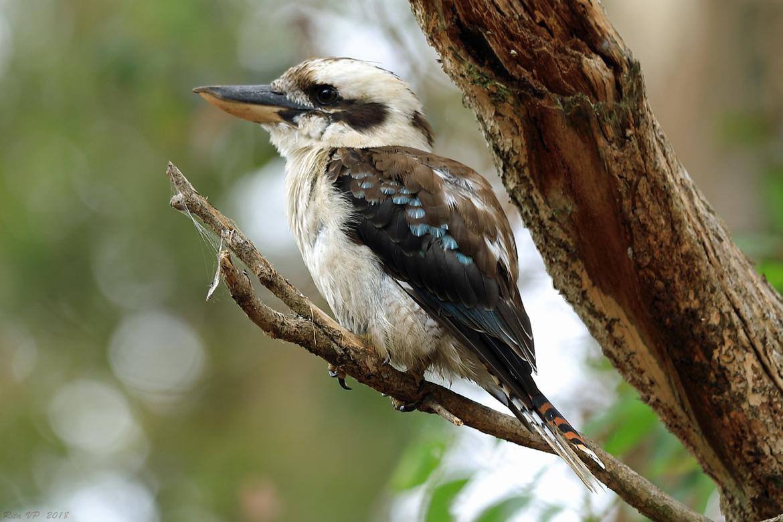 kookaburra, kookaburra photos, Australia wildlife, Australia birds, birding in Australia
