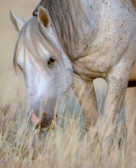 wild mustang, mustang, wild mustang photos, photos of horses, mustang photos, horses in Wyoming,
