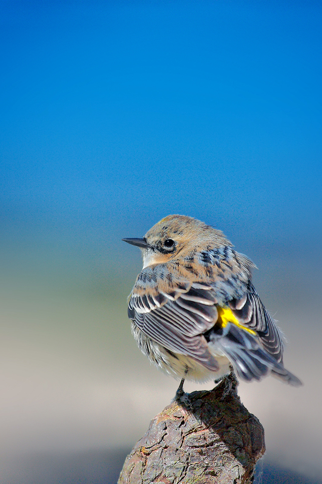 Yellow-rumped Warbler, Yellow-rumped Warbler photos, birding in Florida, birds in Florida, birding in the US
