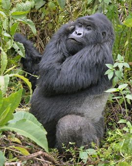 mountain gorilla, mountain gorilla photos, Volcanoes National Park, gorillas in Volcanoes Natioinal Park, Rwanda mountain gorillas, Rwanda wildlife, Volcanoes National Park wildlife, silverback