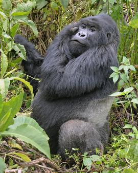 Grid 8x10 silverback gorilla