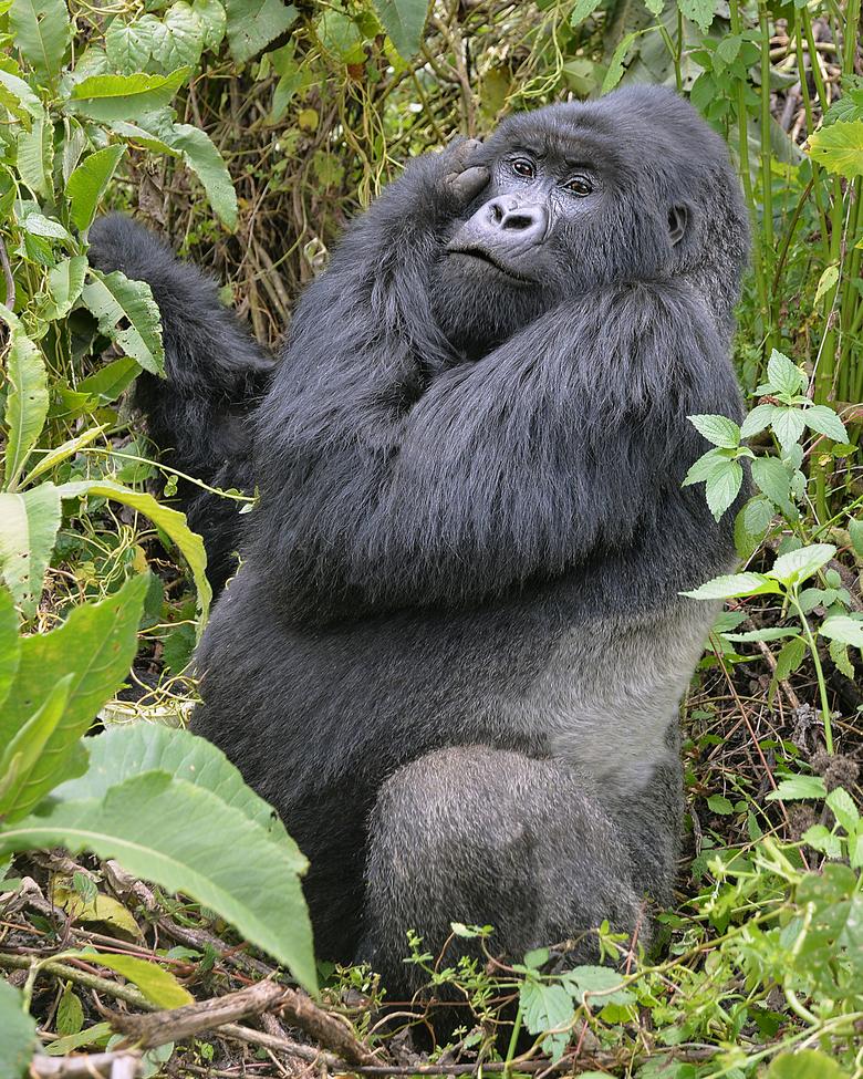 mountain gorilla, mountain gorilla photos, Volcanoes National Park, gorillas in Volcanoes Natioinal Park, Rwanda mountain gorillas, Rwanda wildlife, Volcanoes National Park wildlife, silverback