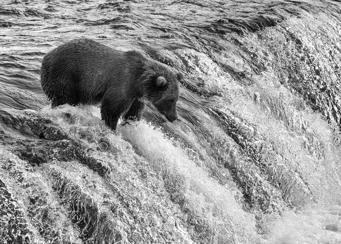 grizzly bear, brown bear, grizzly photos, brown bear photos, alaska wildlife, alaska bears, alaska wildlife photos, alaska bear photos, united states wildlife, united states wildlife photos, brooks falls, brooks falls photos