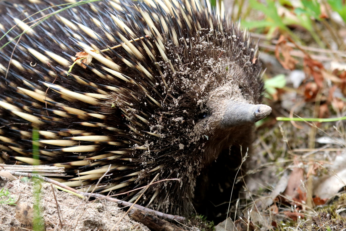 Echidna, Echidna photos, Australia wildlife, Australia wildlife photos, Mornington Peninsula