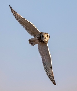 short-eared owl, short-eared owl photos, Pennsylvania, Pennsylvania wildlife, Pennsylvania birds, owls in Pennsylvania, birding in Pennsylvania