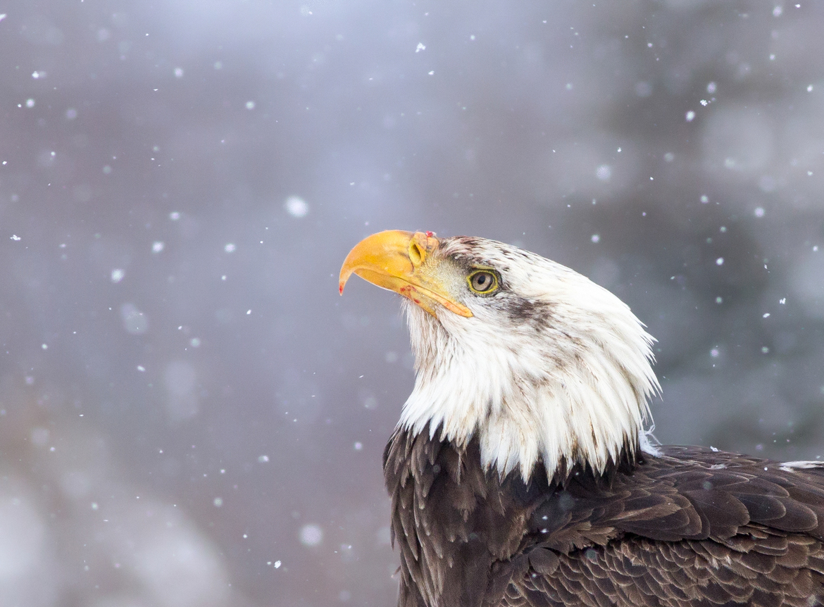 bald eagle, bald eagle photos, bald eagle images, united states wildlife, american wildlife photos, american birds, birds in the united states, bald eagles in america, America's national bird, birding in New York, New York wildlife