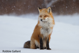Grid red fox sitting in snow