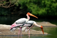 stork, stork photos, painted stork, painted stork photos, India wildlife, India birding, Ranganathittu Bird Sanctuary