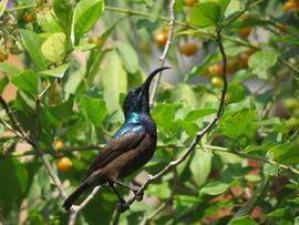 Loten's Sunbird, Loten's Sunbird photos, Sri Lanka wildlife, Sri Lanka birding, birding in Sri Lanka, Maharagama, Maharagama wildlife, birding in Maharagama