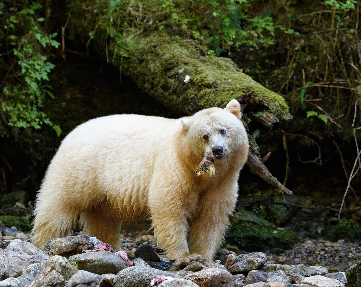 spirit bear, spirit bear photos, black bear, Great Bear Rainforest, Great Bear Rain Forest, bear photos, Canada bears, bears in Canada, bears in British Columbia, British Columbia wildlife, spirit bear fishing