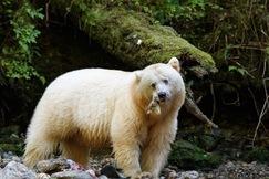 spirit bear, spirit bear photos, black bear, Great Bear Rainforest, Great Bear Rain Forest, bear photos, Canada bears, bears in Canada, bears in British Columbia, British Columbia wildlife, spirit bear fishing