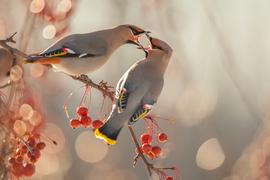 Bohemian waxwing, Bohemian waxwing photos, Canada birding, birding in Canada, birds in Canada, Quebec wildlife, Quebec birding, birding in Quebec, Bohemian waxwing in Canada, Bohemian waxwing in Quebec