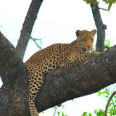 Cropped leopard4xy