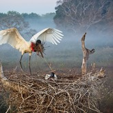 Cropped jabiru stork padding his nest