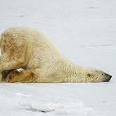 Cropped polar bear scoot wwf