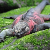 Cropped marine iguana souders