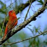 Cropped bb 00 summer tanager yates 5 6 2019 7 18 26 am