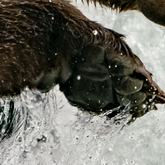 Cropped bear claws in the water 1