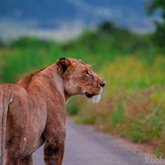 Cropped lioness