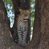 Cropped leopard 7570