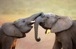elephantssnuggling-e1430428864436