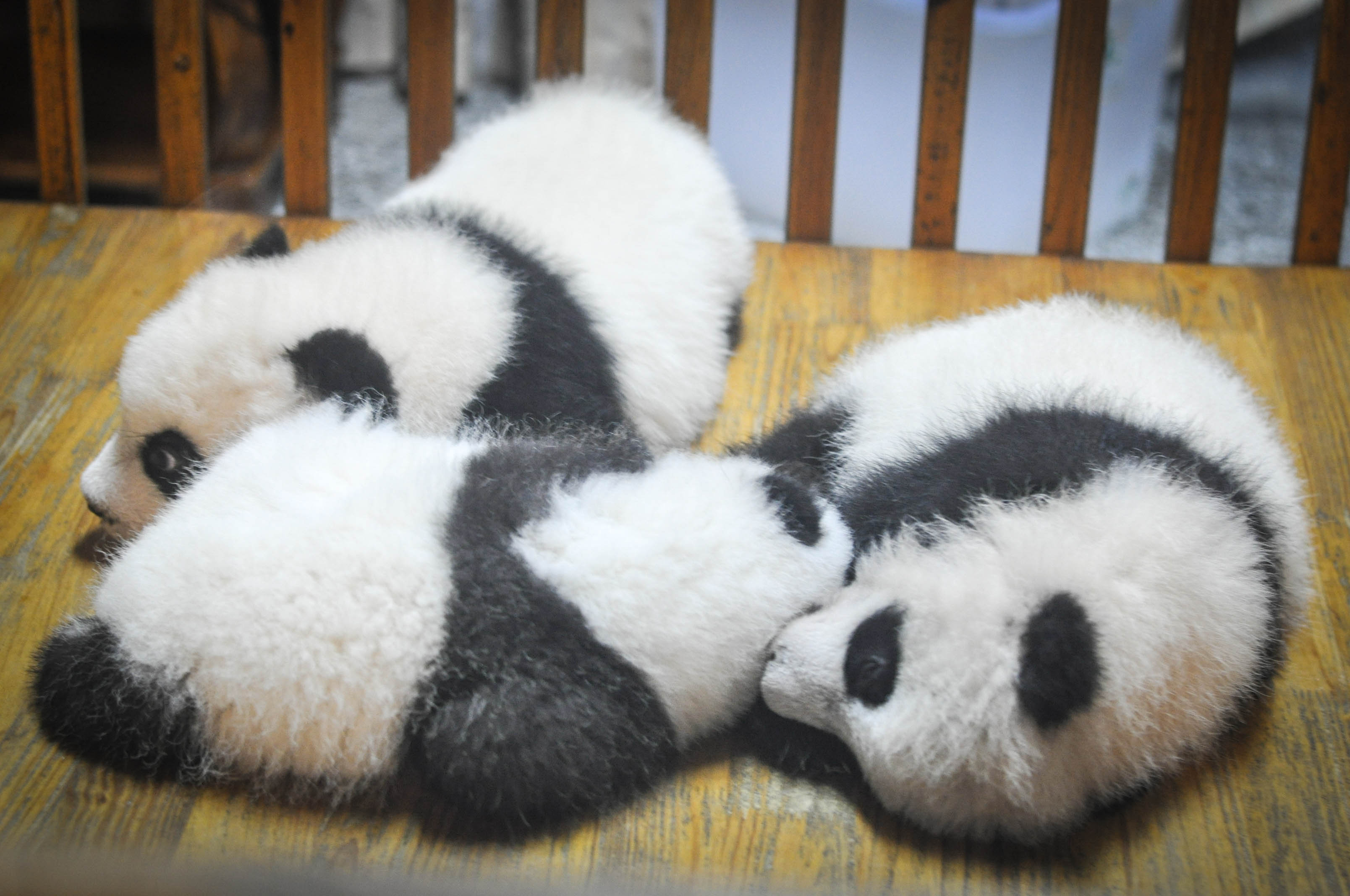 sleepingbabypandas