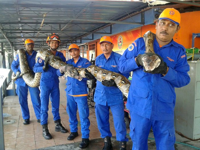 Members of Malaysia's civil defence force pose with a python caught near a construction site in Paya Terubong Photograph: Reuters