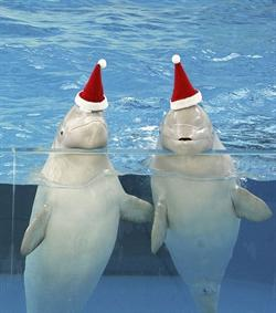 Beluga whales at Hakkejima Sea Paradise Aquarium get into the Christmas spirit