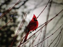 Cardinal rests on branch in winter scene. Photo by Eric Walsh.