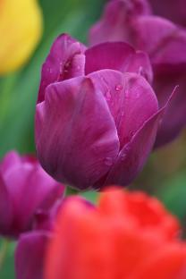 Tulips in Tennessee. Photo by Kay Panovec, courtesy of United Methodist Communications.
