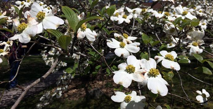 Dogwood tree blooms in Smithville, Tenn. Photo by Fran Coode Walsh, United Methodist Communications.
