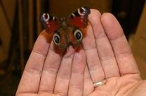 Photo shows hands holding a butterfly. Courtesy of Kit, creative commons.