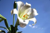 The  pure white lily is a symbol of the new life that came with the resurrection of Christ while its shape is a reminder of the sorrow of Good Friday.
