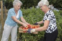 Women from Eden Prairie United Methodist Church in Minnesota gather vegetables from the garden.