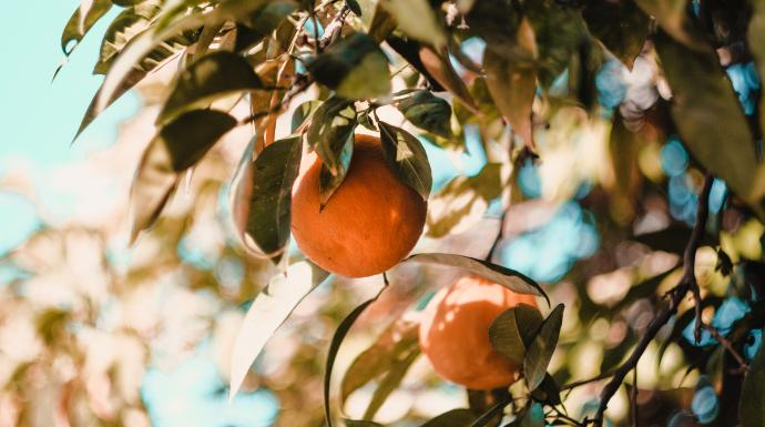 Ripe oranges hang from the tree. Photo by Vesela Vaclavikova on Unsplash.