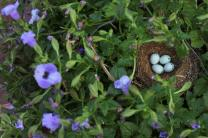 A nest with four blue eggs are sheltered in a hanging basket. Photo by Kathleen Barry, United Methodist Communications.