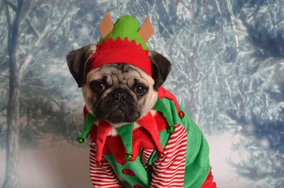 Christmas pug elf is Santa's little helper. Photo by DaPuglet, Flickr.com, CC-BY-SA 2.0.