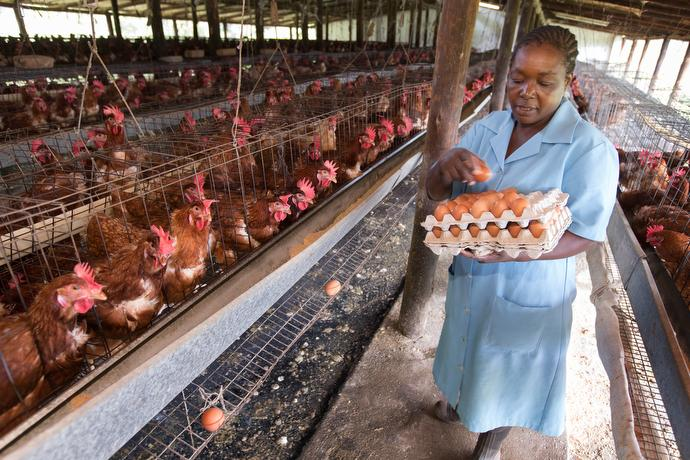 Naomie Chikosi gathers eggs at the Africa University farm in Mutare, Zimbabwe. Photo by Mike DuBose, UMNS.