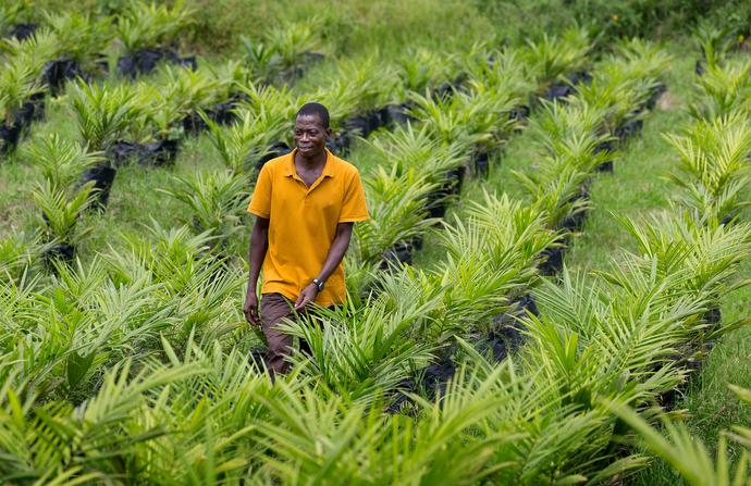 "Peter Gomah checks on the health of seedlings in the oil palm nursery at the United Methodist Ganta Mission Station in Ganta, Liberia. ""Palm is a great crop because nothing goes to waste,"" Gomah said. ""The nuts are roasted and pressed for oil. The leftover chaff is used as feed, burned to boil the oil for cooking or mixed with manure to fertilize crops."" Photo by Mike DuBose, UMNS."