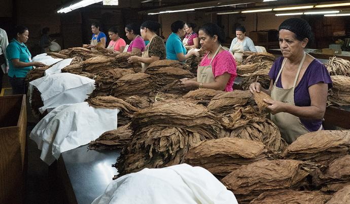 Most of the employees at the Tabacos de Oriente cigar factory in Danlí, Honduras, are women. After the tobacco leaves are cured, they are sorted by color and size.  Photo by Kathy L. Gilbert.
