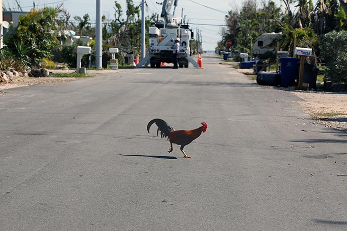 A rooster crosses the road to get to the other side of its neighborhood in Big Pine Key, Fla. Five months after Hurricane Irma, Big Pine is still littered with debris and damaged homes. Photo by Deborah Coble, Florida Conference.